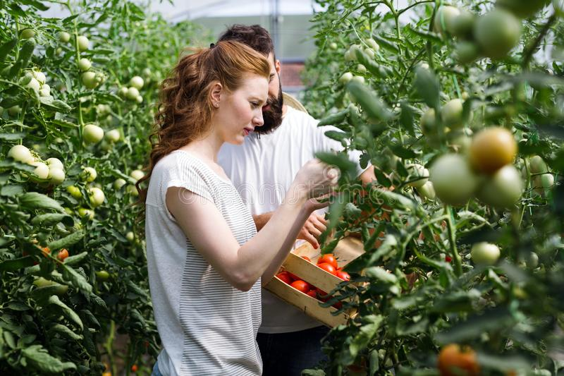 Young happy couple farming vegetables in greenhouse royalty free stock images