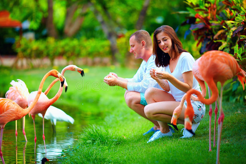 Young couple feeding flamingo birds with hands on pond royalty free stock image