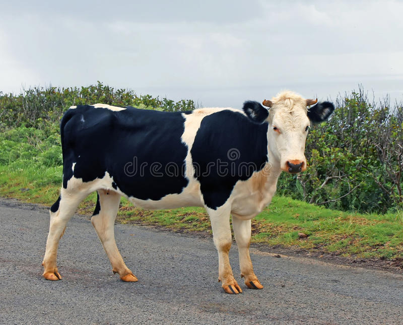 Young Cow In Easter Island. Young cow walking on the road in Easter Island royalty free stock photography