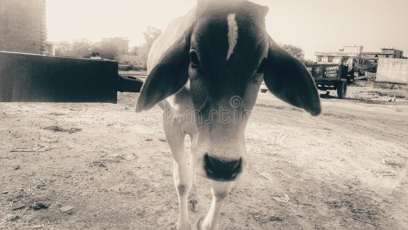 young and cow stock images