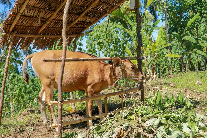 A young cow grazes under a bamboo shed. Background with banana trees, palm trees and tropical jungle. Calf tied with rope to stake royalty free stock photography