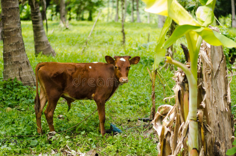 Young cow in jungle royalty free stock photography
