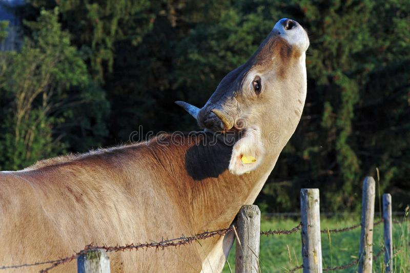 A young cow scratches its neck on a wooden post with relish.  stock photography