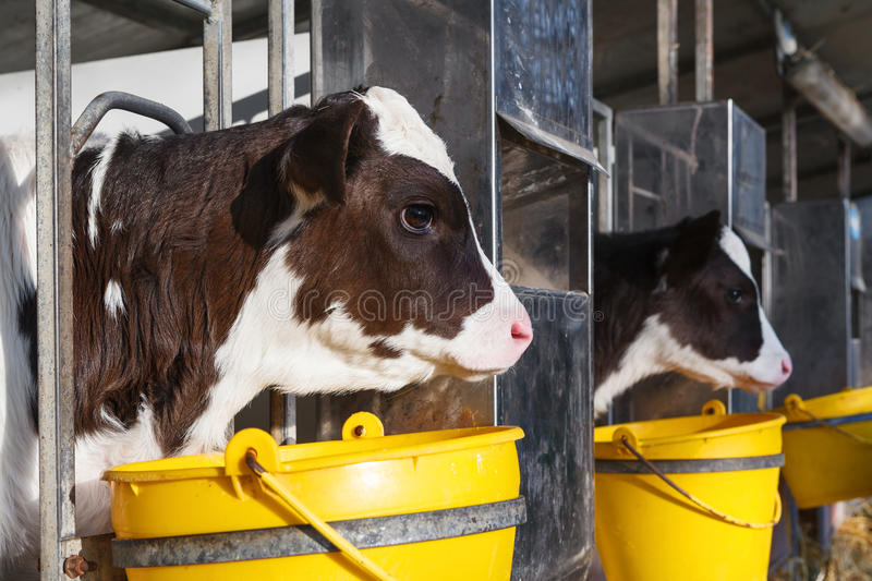Young cow in a stable. Curious young cow in a stable with yellow bucket stock photos