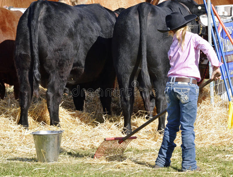 Young cowgirl rakes straw prize bull stall at Boonah Annual Show, Queensland. A considerate young cowgirl rakes out and cleans the stall of her families prize stock images