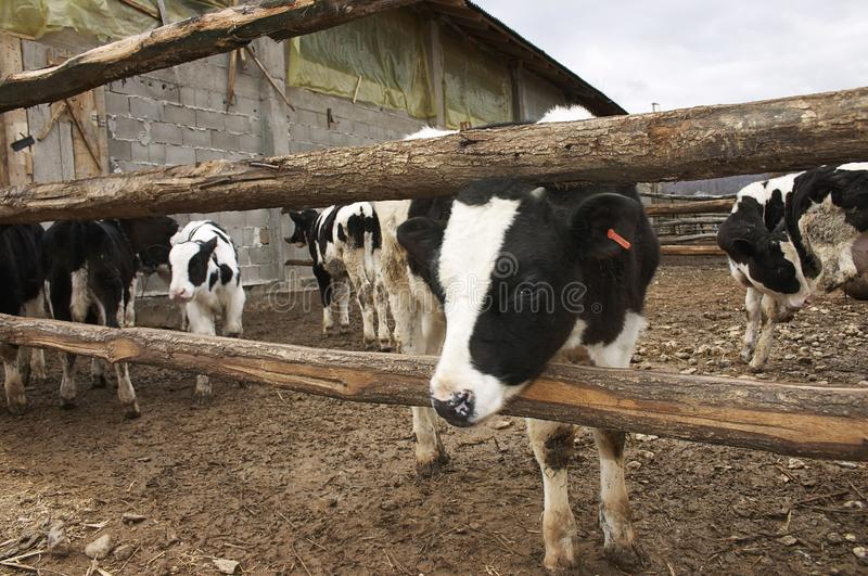 Young cows in a farm royalty free stock photo