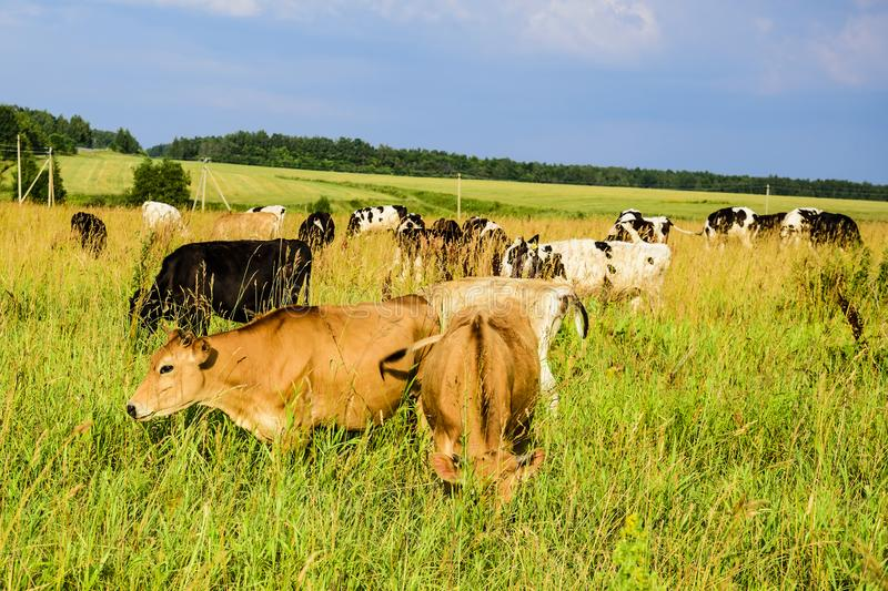 Young cows graze on a green field at sunset on a sunny summer day.  stock images