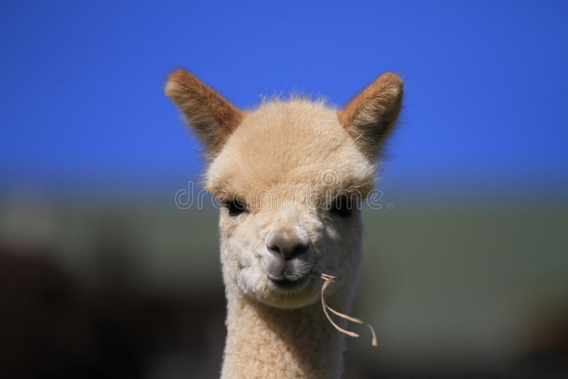 Young Cream Cria Alpaca stock photography