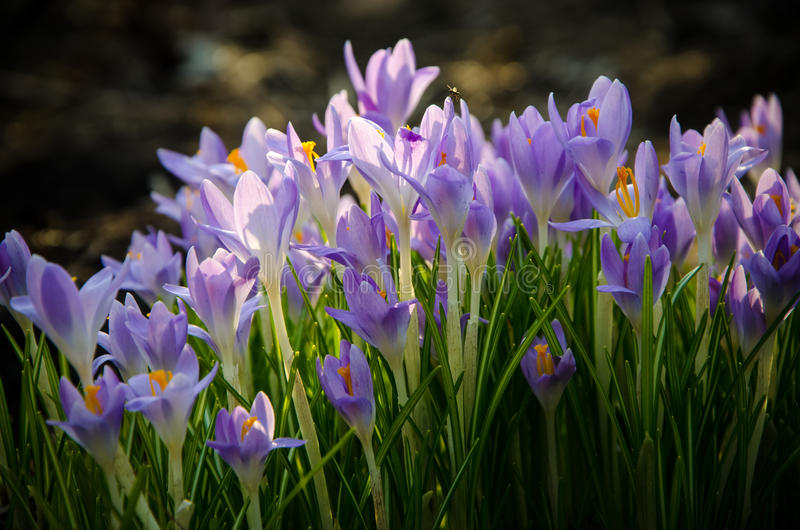 Young crocuses just started to blossom. Flower stock image