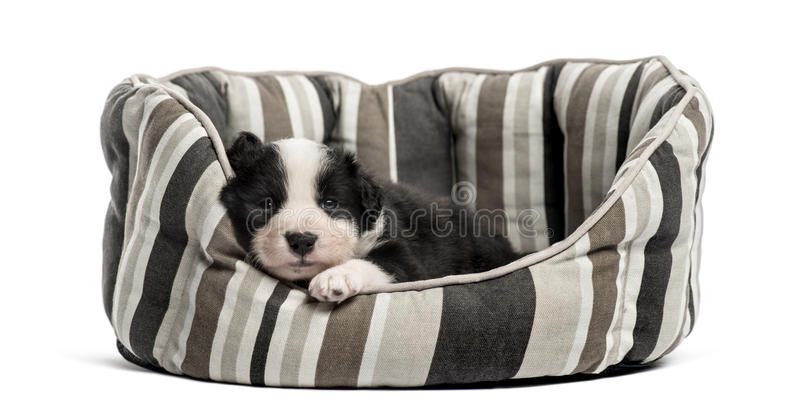 Young crossbreed puppy sleeping in a crib. Isolated on white royalty free stock photos