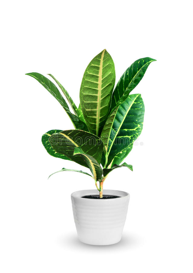 Free Young Croton A Potted Plant Isolated Over White Royalty Free Stock Photography - 59274357