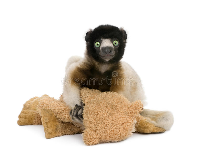 Young Crowned Sifaka holding teddy bear stock photo
