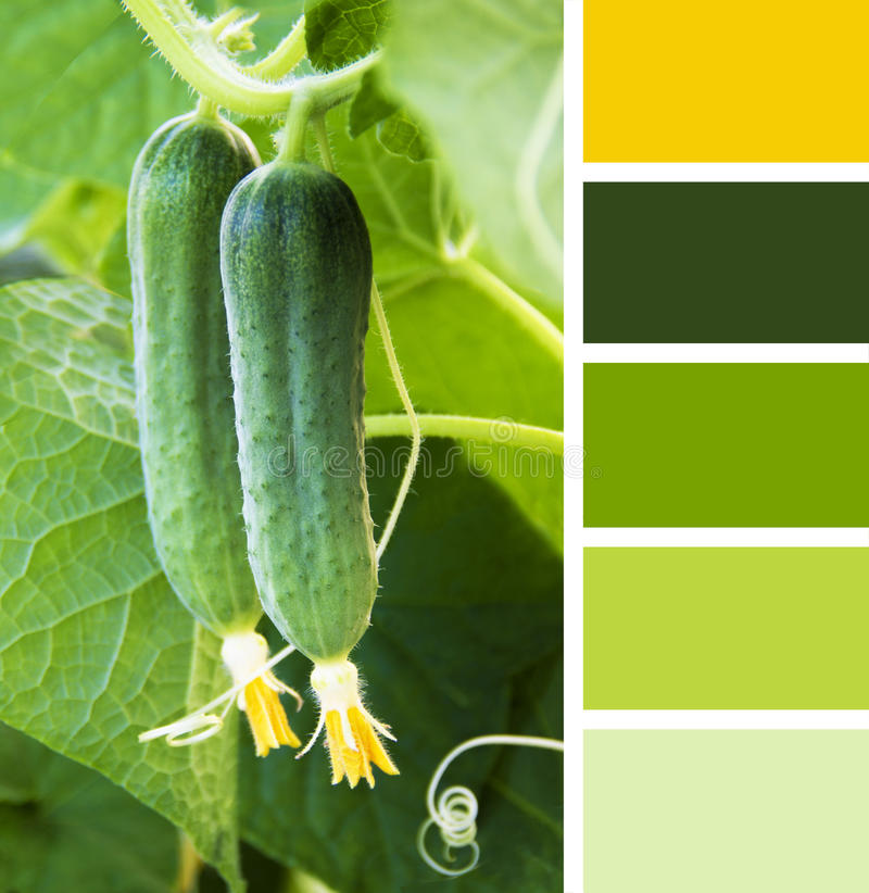 Young Cucumber in the garden. colour palette swatches. Young Cucumber in the garden. color palette swatches royalty free stock photo