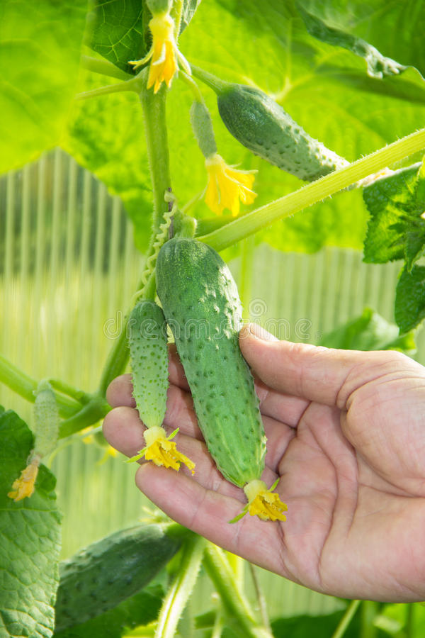 Young Cucumbers in the garden stock photography