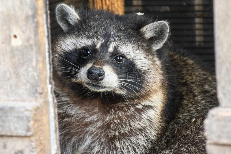 Young curios hungry raccoon captured at home while looking around the house for garbage royalty free stock image