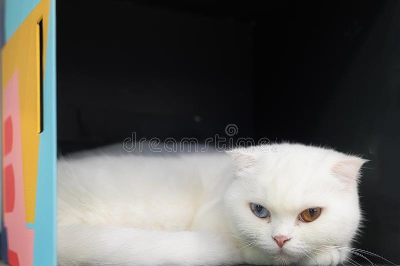 Young cute cat resting on wooden floor. The Scottish Fold short-haired pedigreed kitten.Two eye colors cat royalty free stock image
