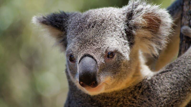 A closeup of young cute koala bear on a tree. Phascolarctos Cinereus, Queensland, Australia royalty free stock photography