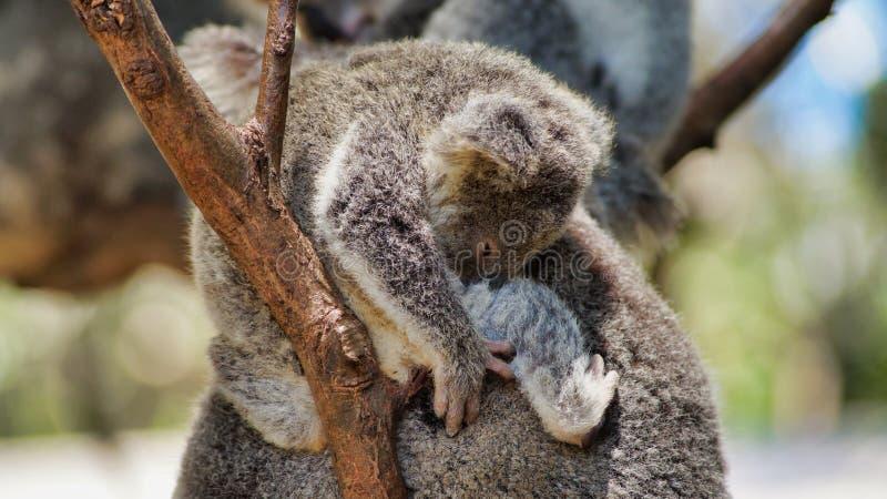 Closeup of young cute koala bear on a tree. A young cute koala bear Phascolarctos cinereus sitting and sleeping on his mother back, Queensland, Australia royalty free stock photo