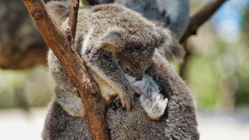 Young cute koala bear sleeping on a tree. A young cute koala bear Phascolarctos cinereus sitting and sleeping on his mother back, Queensland, Australia royalty free stock photography