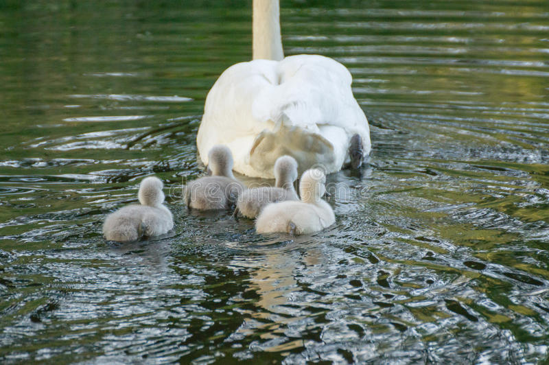 Young cygnets swimming. Young cygnets following their mother royalty free stock images