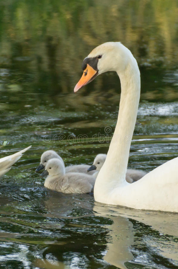 Young cygnets swimming. A mother swan with young cygnets stock photography