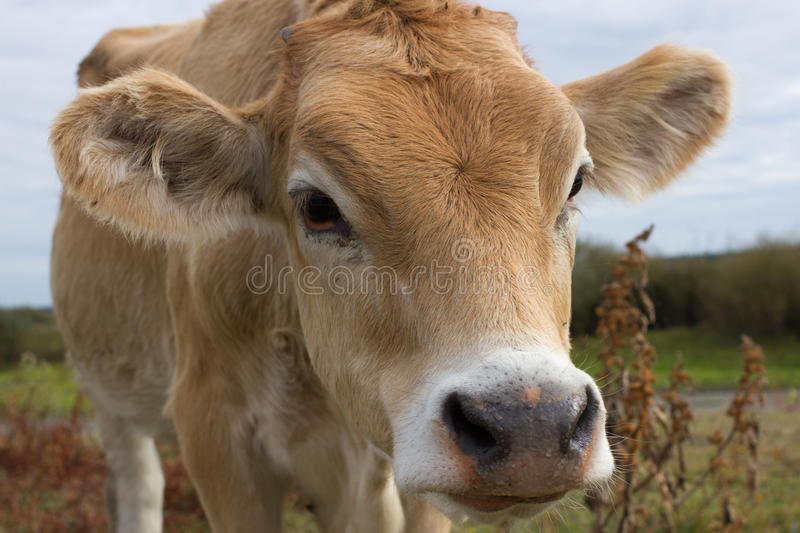 Young dairy cow head. Farm, agriculture in village. Young dairy cow head. Cattle in farm, agriculture in village stock image