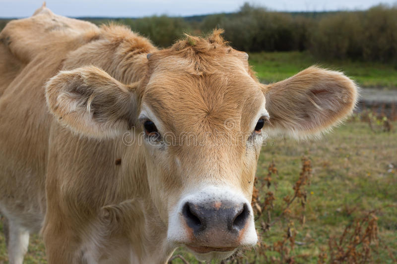 Young dairy cow head. Farm, agriculture in village. Young dairy cow head. Cattle in farm, agriculture in village stock photos