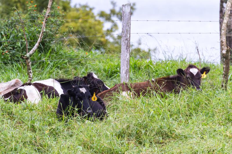 Young dairy cows royalty free stock photos