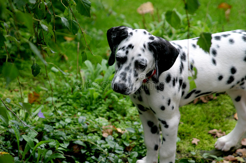 Young dalmatian dog (puppy) stock photography