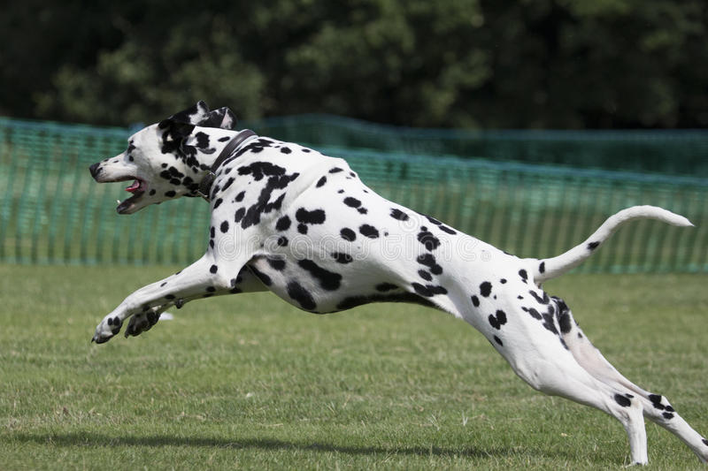 Young dalmatian running in field. Profile stock images