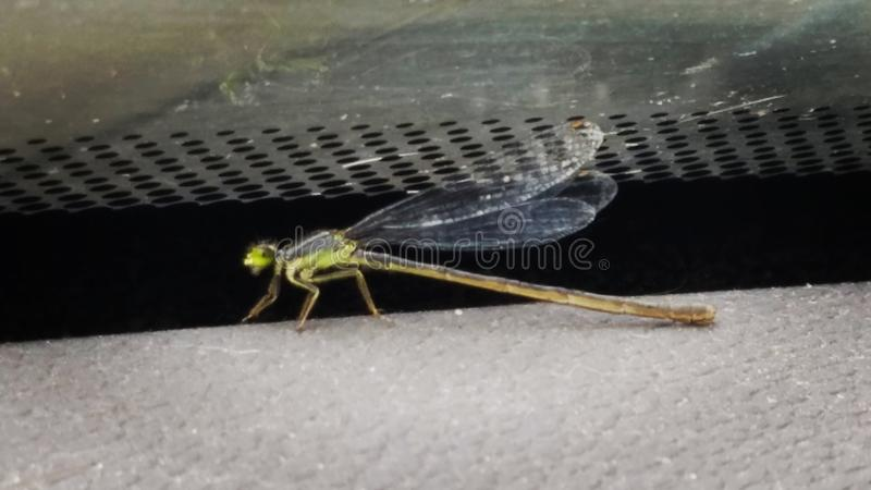 Damsel fly. Young damsel fly lost in a car royalty free stock photography