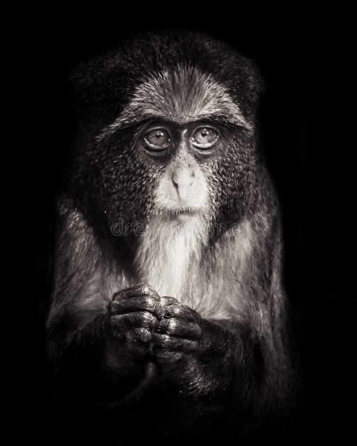 Young De Brazza's Monkey. Profile Portrait of a Young De Brazza's Monkey royalty free stock photography