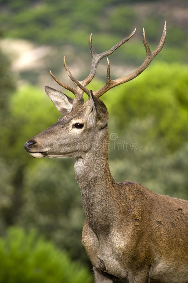 Free Young Deer Royalty Free Stock Image - 11181766