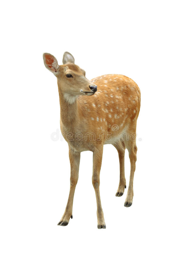 Free Young Deer Royalty Free Stock Photos - 13247868