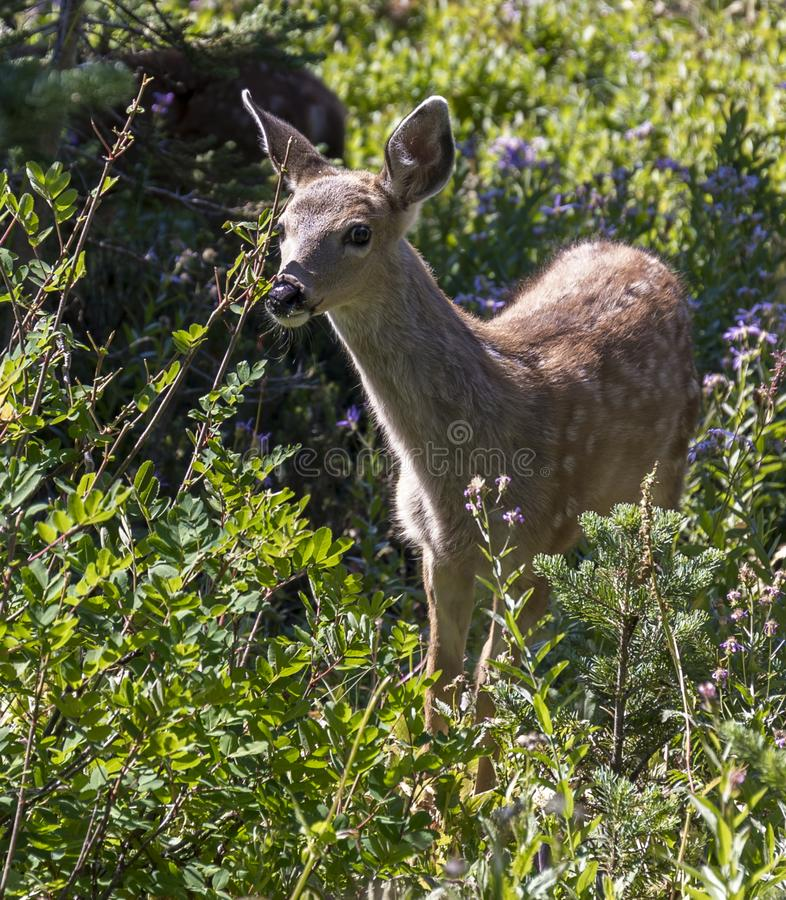 Free Young Deer Royalty Free Stock Photography - 133606847