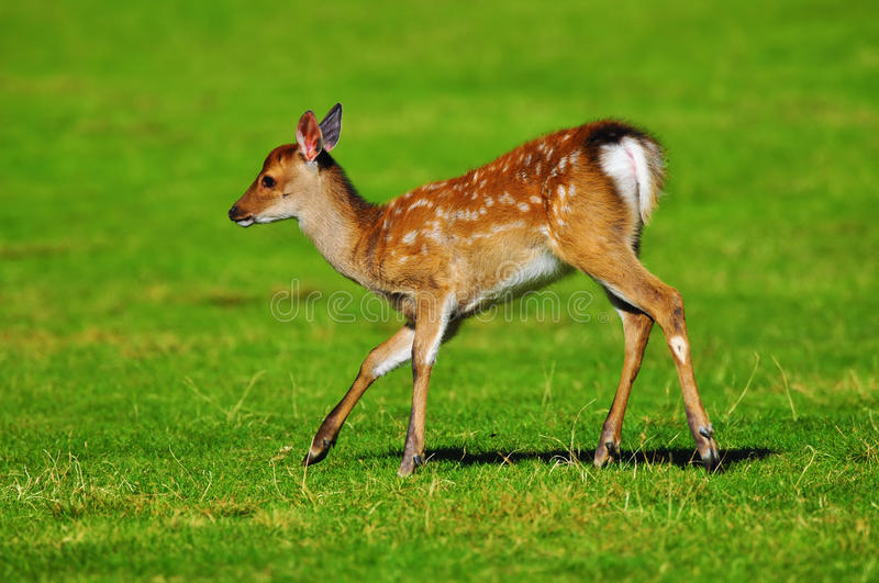 Download Young deer stock photo. Image of wild, deer, brown, summer - 22716416