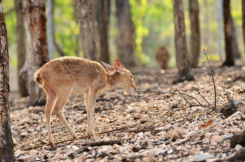 Young Deer Stock Images