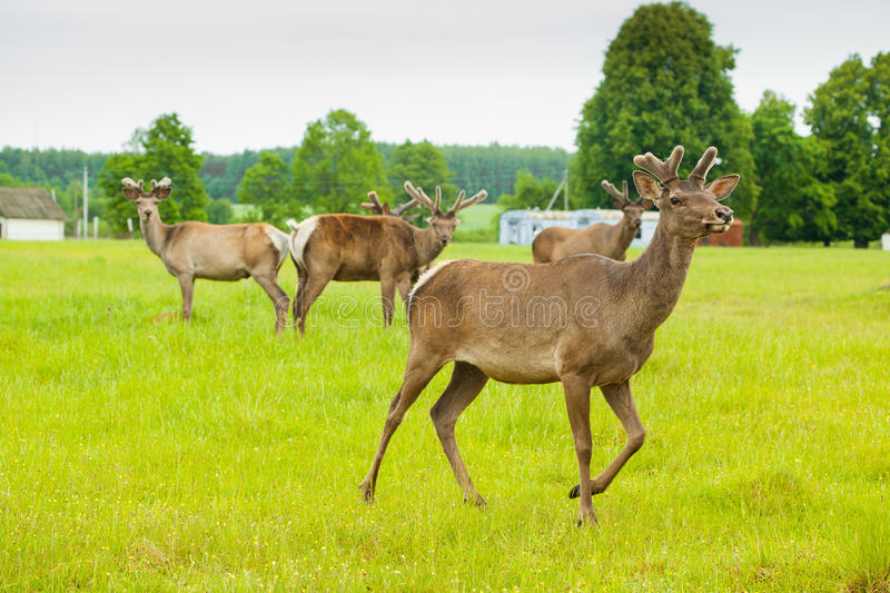 Download Young Deer Stock Photo - Image: 28651630