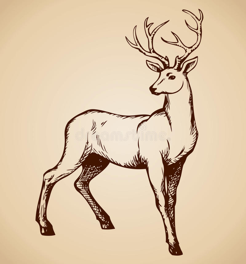 Young deer antlered. Vector drawing royalty free illustration