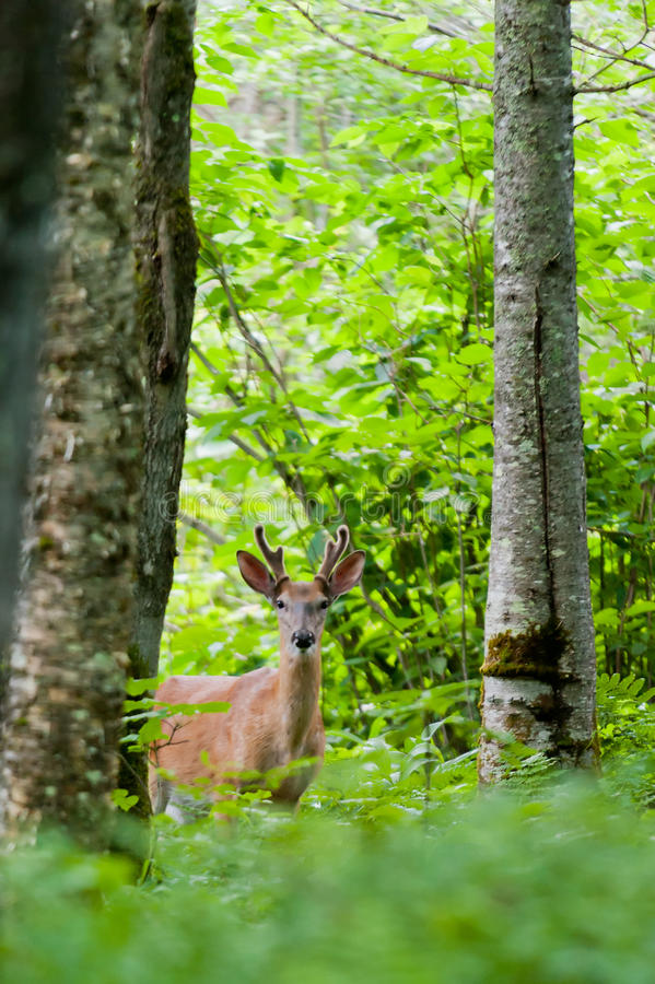 Young deer buck in the forest stock photo