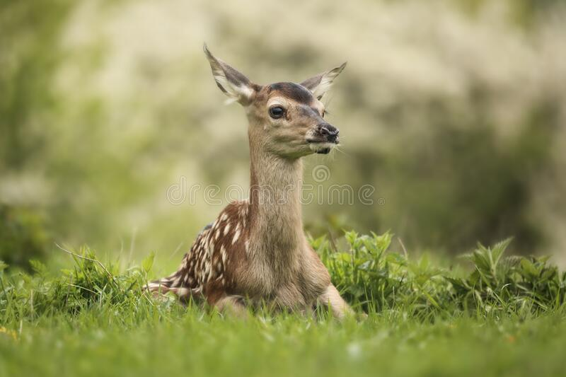 Young deer Cervus elaphus in the spring landscape. Green Grass Everywhere.Lost on the Meadow. Cute, forest, meadow royalty free stock photo