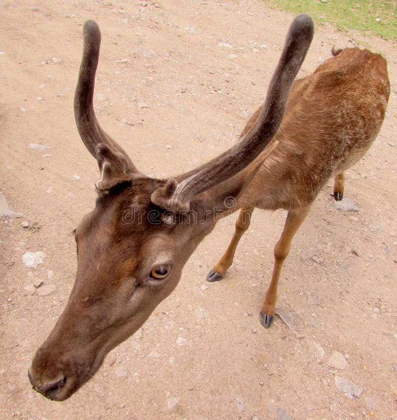 Young deer. The deer are a family of ruminant mammals including deer or deer stock photos