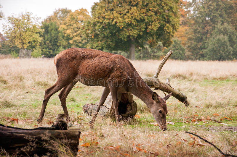 A young Deer grazing in a forest in the British countryside. royalty free stock image