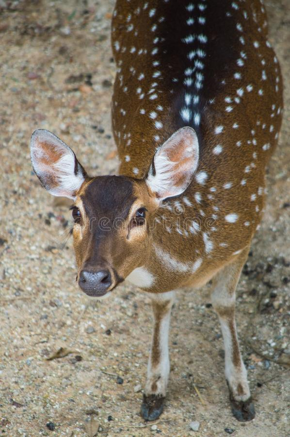 A young deer looks straight ahead for camera. stock photo
