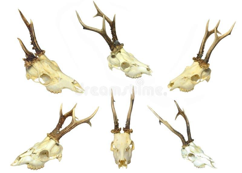 Young deer skulls stock photos