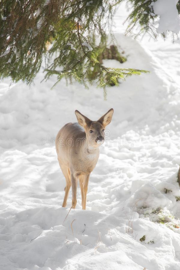 Young deer in the snow stock photo