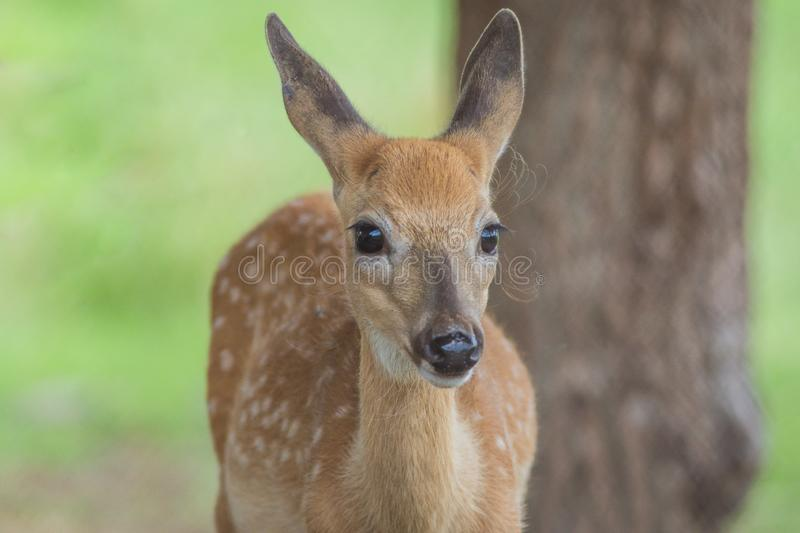 Young deer standing on a sunny summer afternoon. Young deer, Cervidae, standing in grass on a sunny summer afternoon.  Cute baby deer royalty free stock photos