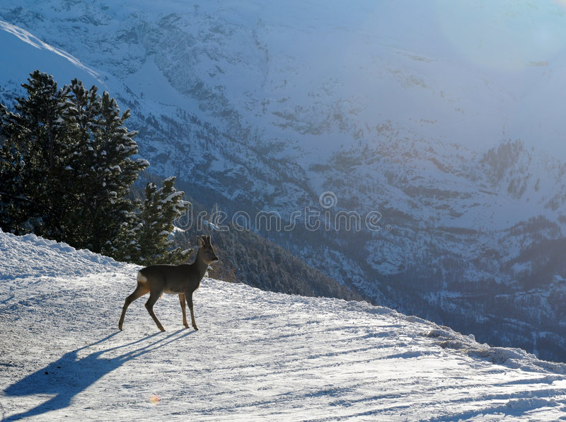 Young deer in winter stock image