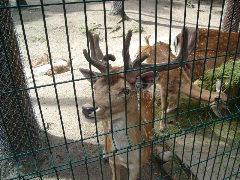 Young deer in zoo stock photo