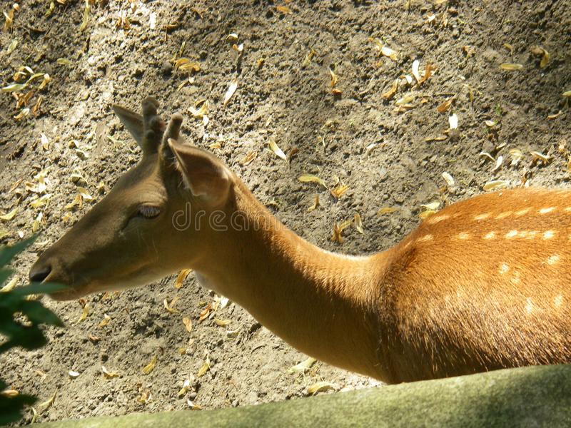 Young deer in the zoo stock photo